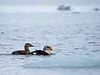 Svalbard Norway King Eider