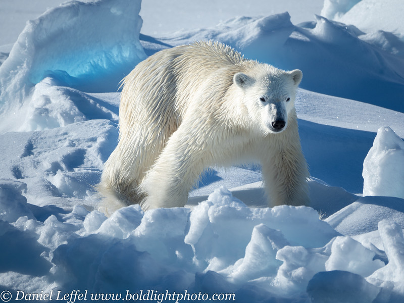 Svalbard Norway Polar Bear on Sea Ice