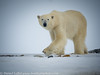 Svalbard Norway Polar Bear on Land