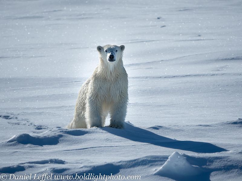Svalbard Norway Polar Bear on Sea Ice