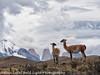 Patagonia Chile Torres  del Paine Guanaco