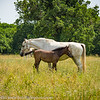 Slovenia Lipizzaner Horses