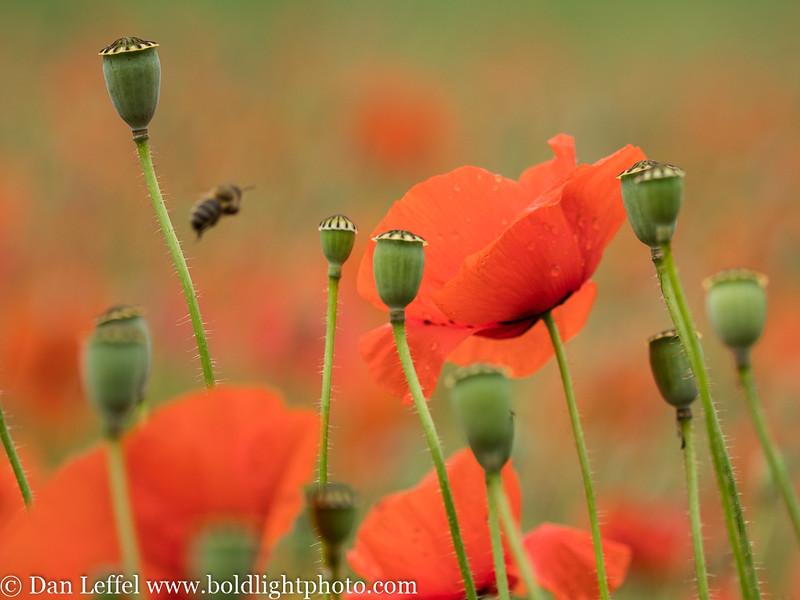 Slovenia Poppies