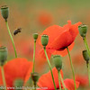 Slovenia Poppies