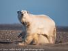 Alaska Arctic Polar Bear Mom and Cub