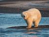 Alaska Arctic Polar Bear Growl