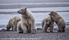 Alaska Arctic Polar Bears and Cubs