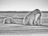 Alaska Arctic Polar Bear and Cubs