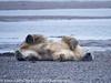 Alaska Arctic Polar Bears and Cubs