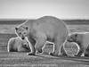 Alaska Arctic Polar Bear and Cubs