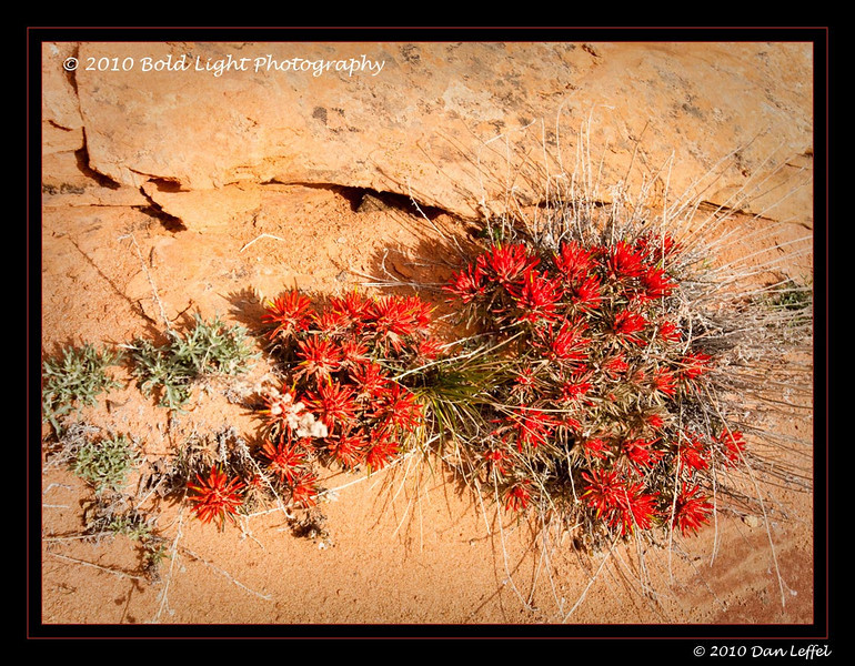 Indian Paintbrush, near the Wave, North Coyote Buttes, near Page, AZ.