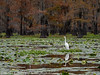 Caddo Lake Texas Egret
