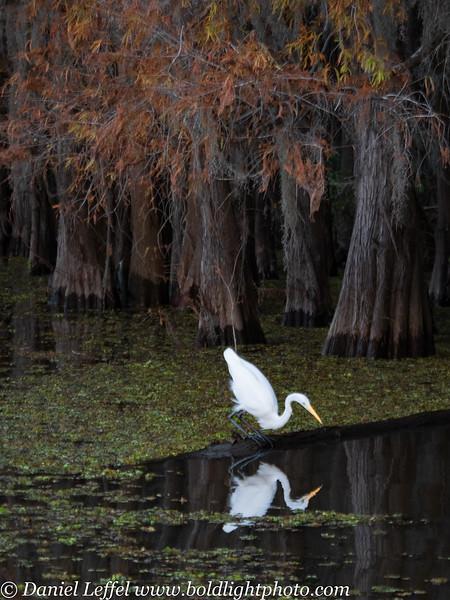 Caddo Lake Texas Egret