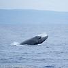 Maui Humpback Whale Head Slap