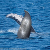 Maui Humpback Whale Pectoral Fin
