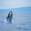 Maui Humpback Whale Breaching