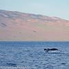 Maui Humpback Whale Tail Fluke