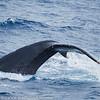 Maui Humpback Whale