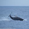 Maui Humpback Whale Pedunkle Throw