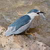 Maui Black Crowned Night Heron