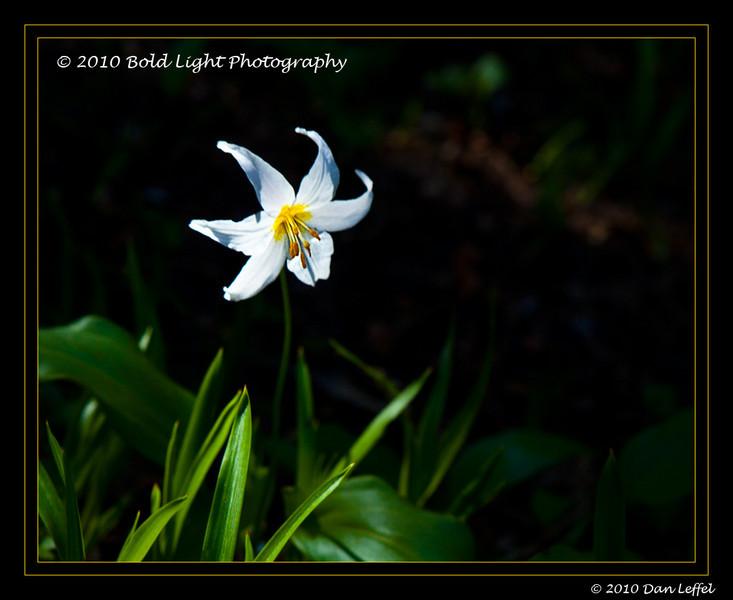 Washington Mt Rainier National Park - July 2010; Avalanch Lily