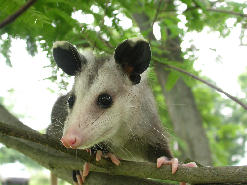 Close-up of a young opossum (Didelphis marsupialis) on a tree branch in the Kentucky Bluegrass
