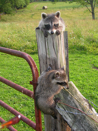 Young raccoons (Procyon lotor) playing on a fence in the Kentucky Bluegrass