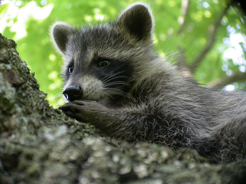 Close-up of a young raccoon (Procyon lotor) on a tree branch in the Kentucky Bluegrass