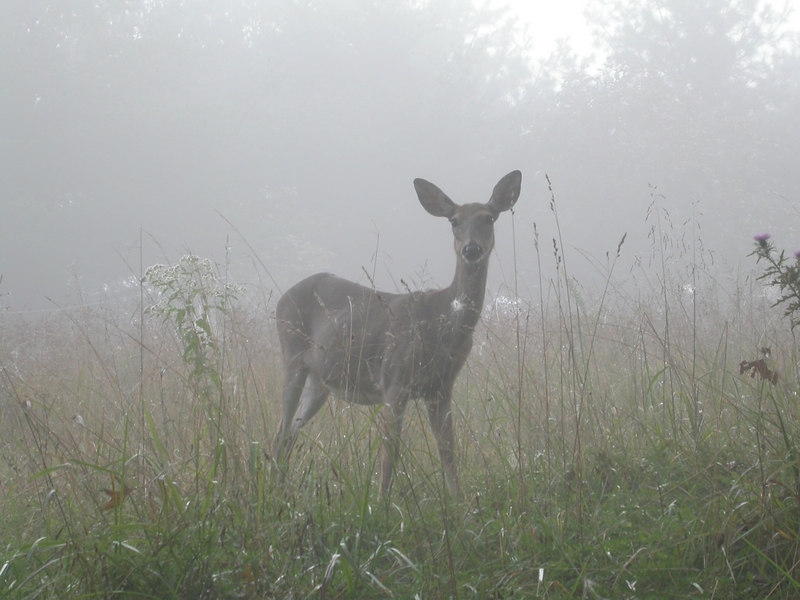 White-tailed doe deer (Odocoileus virginianus) in the early morning fog in central Kentucky
