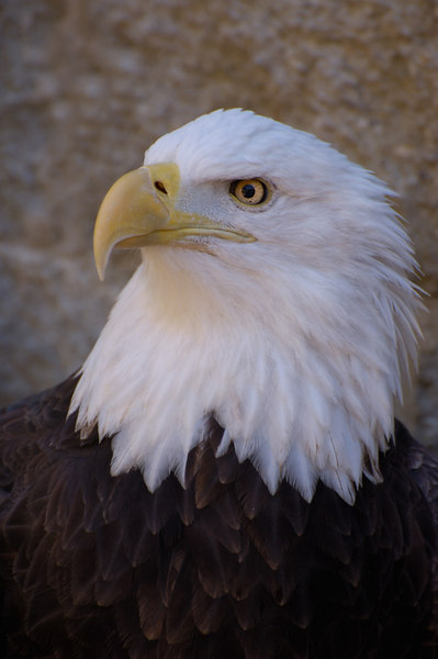 Stock image of the portrait of a Bald Eagle.  The scientific name for this bird is Haliaeetus leucocephalus.