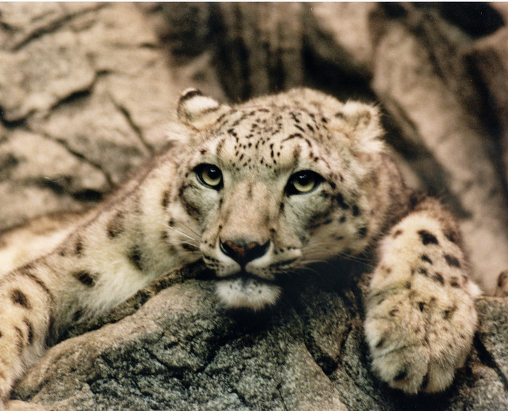Intensely staring leopard (Pathera pardus) at the Cincinnati Zoo