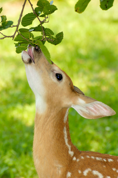 Stock image of  a young white-tailed deer fawn eating leaves from a Mulberry  tree