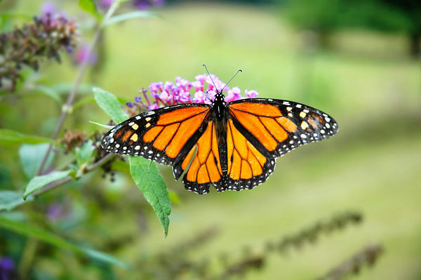 Close-up of a  Monarch (Danaus plexippus) butterfly  on the blossoms of a Butterfly bush