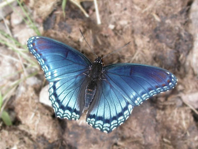 Close-up of a Red-Spotted Purple (Limenitis arthemis astyanax) butterfly