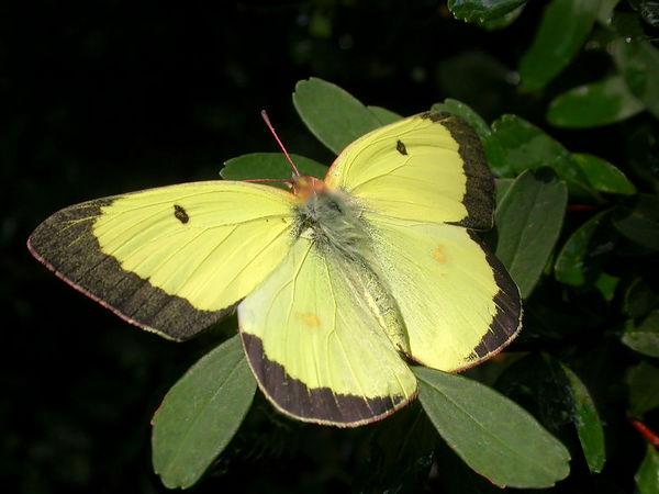 Close-up of a male Orange Sulfur(Colias eurytheme) butterfly
