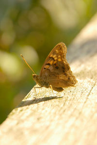 Close-up of a female Silver-Spotted Skipper (Epargyreus clarus) butterfly  on a wooden fence rail