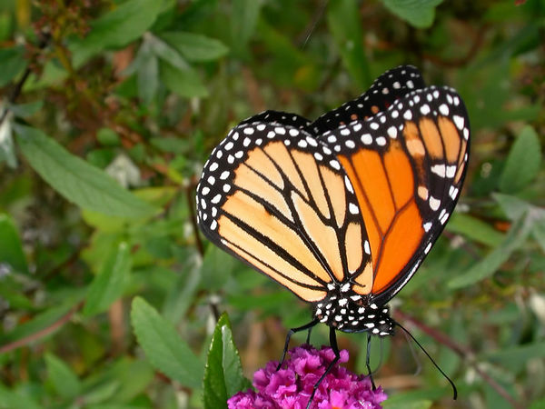 Close-up of a male Monarch (Danaus plexippus) butterfly