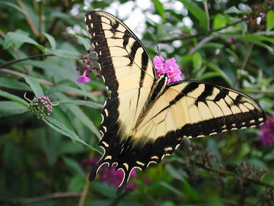 Close-up of a female Eastern Tiger Swallowtail (Papilio glaucus) butterfly