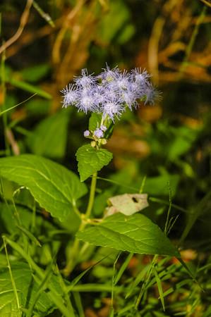 Mist Flower wildflower