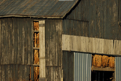 Stock image of a weathered tobacco barn in the Kentucky Bluegrass region that is filled to the brim with burley tobacco hung up to dry and cure