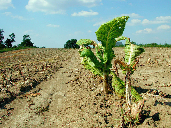 Lone tobacco plant left at the end of the day in a recently harvested field of Burley tobacco in the Kentucky Bluegrass