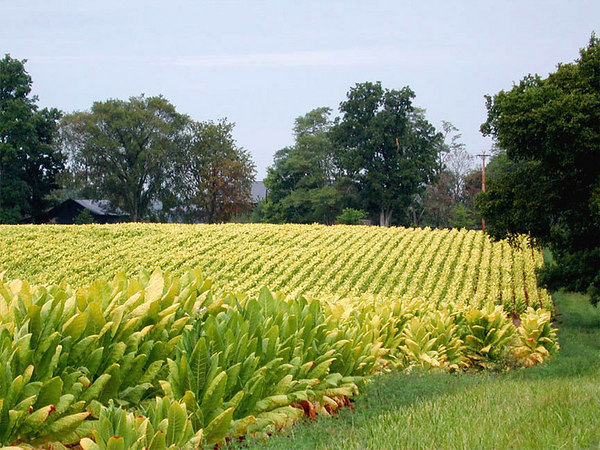 Beautiful field of Burley tobacco growing in the Kentucky Bluegrass