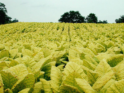 Close-up of a field of Burley tobacco growing in the Kentucky Bluegrass