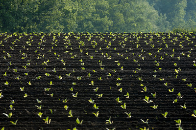 Young burley tobacco plants in the fertile black soil of the Kentucky bluegrass region USA