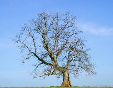 An nicely shaped bent tree  in a meadow in the Kentucky Bluegrass in early Spring