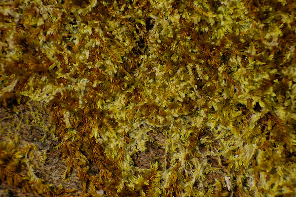 Stock image of a closeup of moss. The scientific classification is Musci within the division Bryophyta.   Photographed in the Lower Howards Creek Nature and Heritage Preserve in the Bluegrass region of Kentucky USA.
