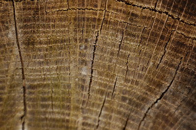 Stock image of texture and patterns of tree rings.  Photographed in the Lower Howards Creek Nature and Heritage Preserve in the Bluegrass region of Kentucky USA.