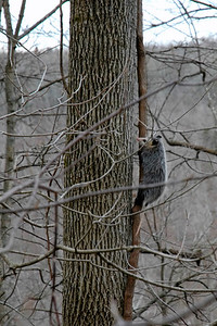 Opossum (Didelphis marsupialis) in a tree in Kentucky, USA