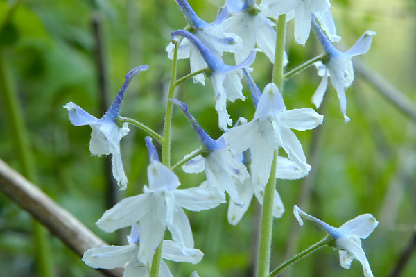 Closeup of Dwarf Larkspur wildflowers in the species Delphinium tricorne and family  Ranunculaceae.  Photographed in the Lower Howards Creek Nature and Heritage Preserve in the Bluegrass region of Kentucky USA