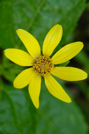 Closeup of Small-Headed Sunflower wildflower in the species Helianthus microcephalus and family Asteraceae.  Photographed in the Lower Howards Creek Nature and Heritage Preserve in the Bluegrass region of Kentucky USA